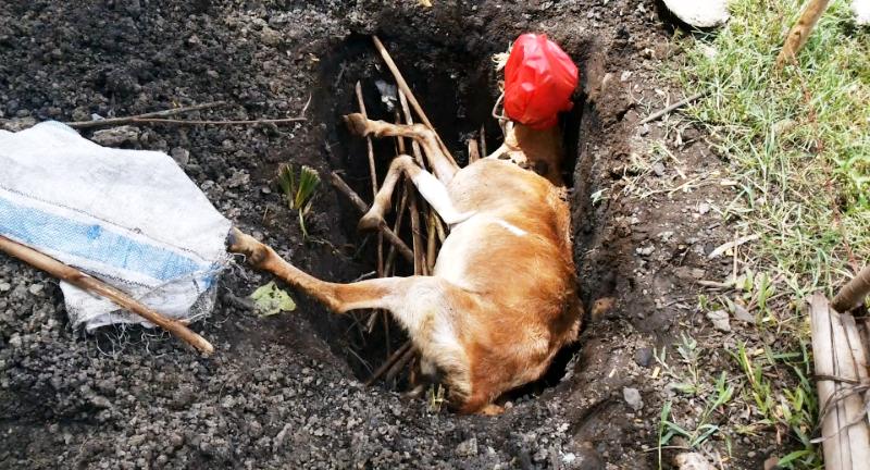 Hewan yang mati karena virus antrhax